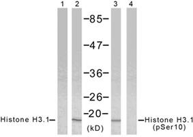 组蛋白Histone核内参抗体—Histone H3.1抗体