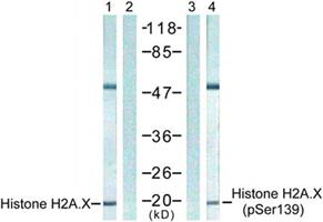组蛋白Histone核内参抗体—Histone H2A.X抗体
