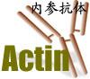 β-Actin抗体