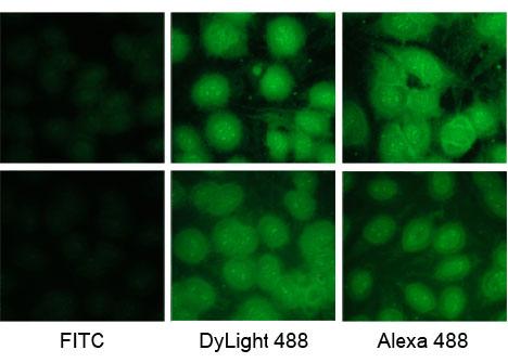 DyLight 488与FITC及Alexa 488荧光染料比较
